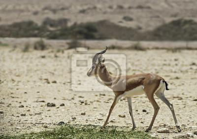 Dorcas Gazelle en la reserva natural de Israel
