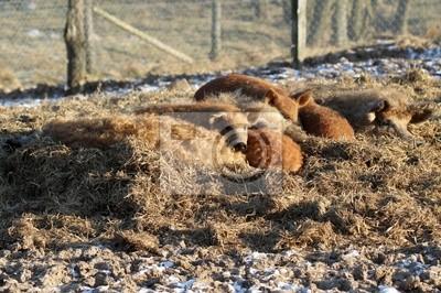 Dormir cerdos lanudos en el zoológico Sababurg