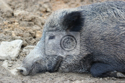 Dormir jabalí en el zoológico Sababurg