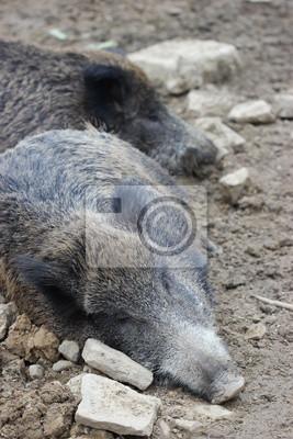 Dormir jabalíes en zoológico Sababurg