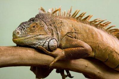 Cuadro Dormir lagarto grande en el primer plano de rama, fondo aislado