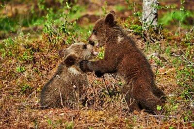 Cuadro Dos cachorros de oso pardo