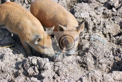 Dos lechones de cerdo lanudo en el Tierpark Sababurg
