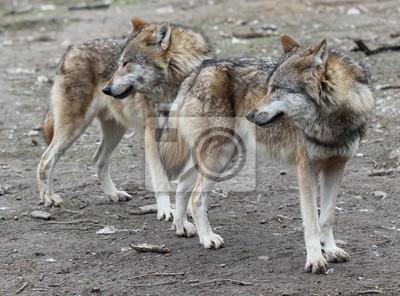 Dos lobos en el parque zoológico Sababurg
