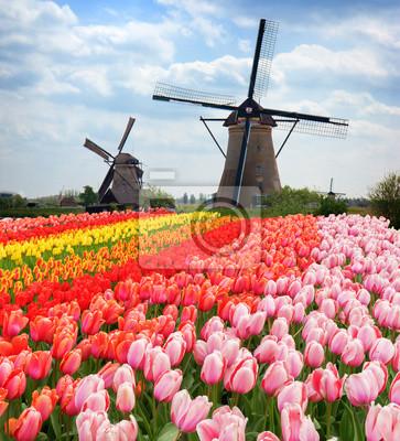 dos molinos de viento holandeses tradicionales de Zaanse Schans y filas de tulipanes, Países Bajos