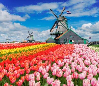 Dos tradicionales molinos de viento holandeses con filas de tulipanes en el día de primavera, Países Bajos