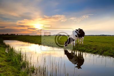 dos vacas por el río al atardecer