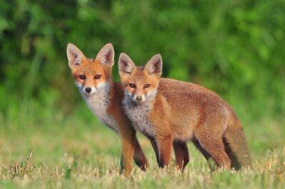Cuadro Dos zorros rojos