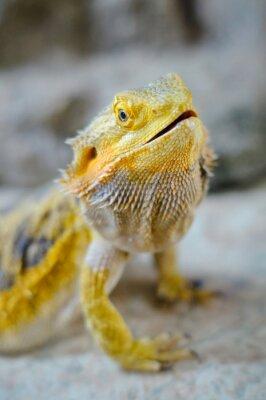 Cuadro Dragón barbudo amarillo