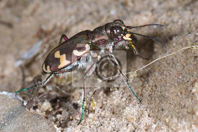 Dunas escarabajo de tigre - Cicindela hybrida