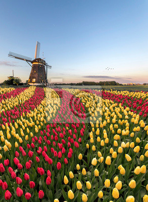 Duo color red and yellow tulips flowers blooming in curve shape against Dutch windmills during spring the rise
