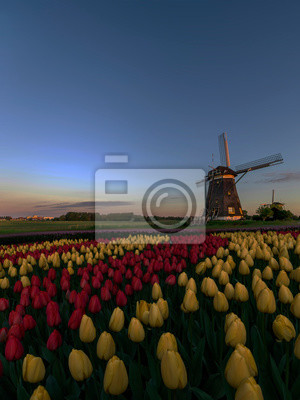 Dutch spring sunset on the windmills and the tulips farm with red and yellow tulips flowers blossoms