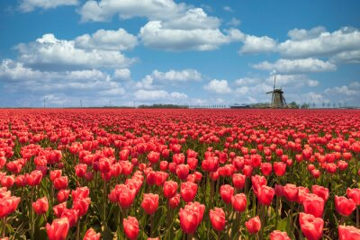 Dutch windmill in a purple red tulips bulb farm plantation under a sunny blue sky in spring time