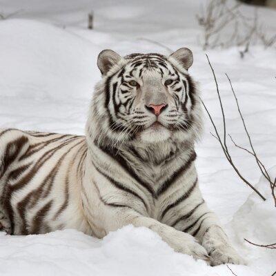 Cuadro El animal más hermoso y la bestia más peligrosa del mundo. Este raptor severo es una perla de la fauna. Retrato de la cara del animal.