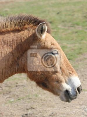 El caballo de Przewalski en primavera
