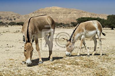 El onagro culo salvaje en la reserva natural de Israel