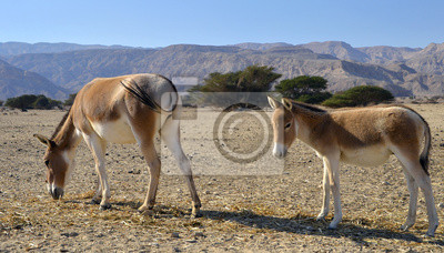 El onagro (Equus hemionus) es culo salvaje asiático, Eilat, Israel