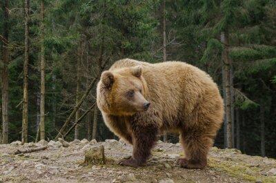 Cuadro El oso está buscando la primavera en el bosque