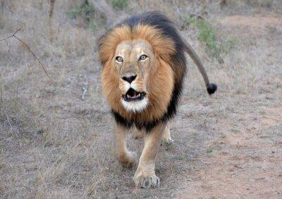 Cuadro El rugido del león