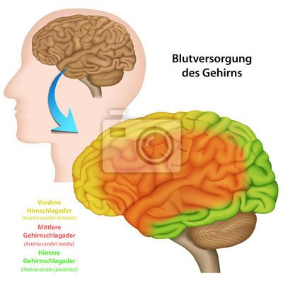 El suministro de sangre al cerebro, la anatomía del cerebro pinturas ...