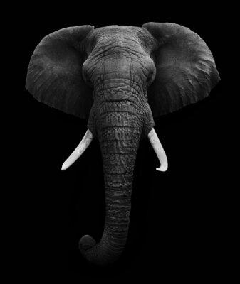 Cuadro Elefante africano aislado