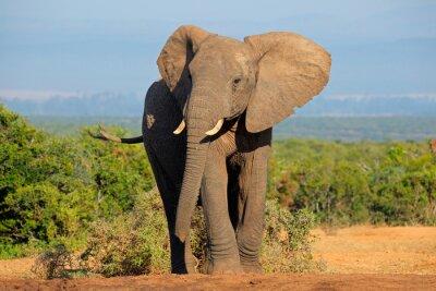 Cuadro Elefante africano, el Parque Nacional de Elefantes Addo