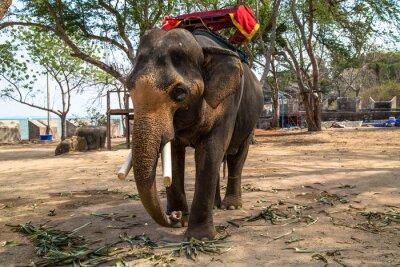 Cuadro Elefante asiático