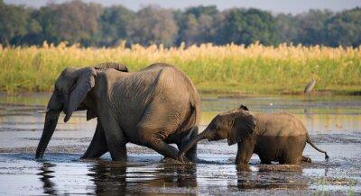 Cuadro Elefante con el bebé que cruza el río Zambezi.Zambia. Parque Nacional del Bajo Zambeze. Río zambeze Una excelente ilustración.