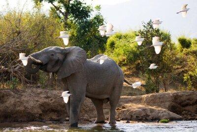 Cuadro Elefante con garzas blancas. Zambia. Parque Nacional del Bajo Zambeze. Río zambeze Una excelente ilustración.