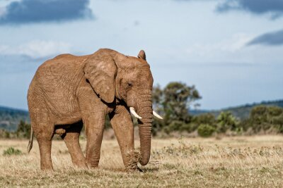 Cuadro Elefante de toro