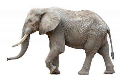 Cuadro Elefante delante de un fondo blanco