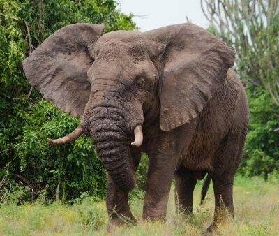 Cuadro Elefante en la sabana. Disparos desde el globo de aire caliente. África. Kenia. Tanzania. Serengeti. Maasai Mara. Una excelente ilustración.