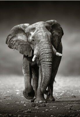 Cuadro Elefante enfoque desde el frente