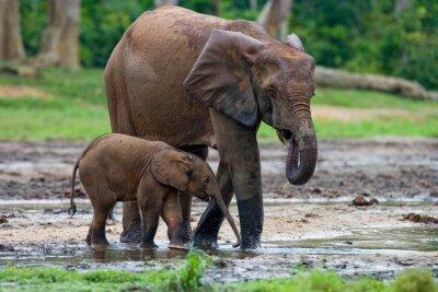Cuadro Elefante femenino con un bebé. República Centroafricana. República del Congo. Reserva Especial Dzanga-Sangha. Una excelente ilustración.