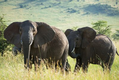 Cuadro Elefantes africanos en la sabana africana