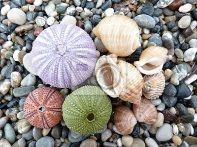 Erizos De Mar Y Conchas De Fondo Pinturas Para La Pared Cuadros - Fotos-de-conchas-de-mar