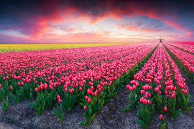 Cuadro Escena dramática de primavera en la granja de tulipanes