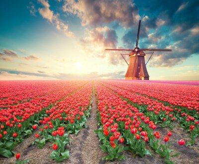 Cuadro Escena dramática de primavera en la granja de tulipanes. Colorido atardecer en Holanda, Europa.