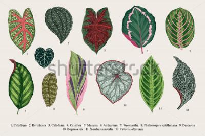 Cuadro Establecer hojas. Exotica Ilustración botánica del vector de la vendimia. Vistoso.