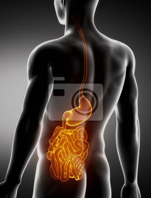 Estómago e intestino anatomía masculina vista posterior de rayos ...