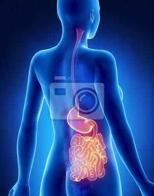 Estomago mujer y los pulmones anatomía de rayos-x de la vista ...