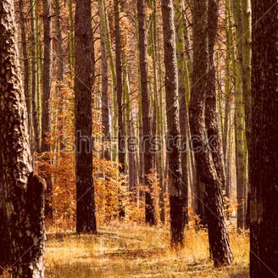 Cuadro Fantástico otoño dorado en el bosque de pinos plantas de color naranja brillante troncos de árboles altos limpios y nadie alrededor de la belleza de nuestro mundo