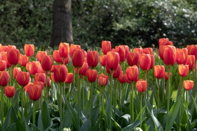 Fence of red tulips flowers against a tree trunk and blurry green small trees leafs