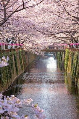 Cuadro Flor de cerezo alineado Meguro Canal en Tokio, Japón.