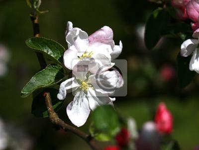 Flor de manzana