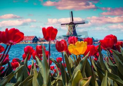 Cuadro Flor de tulipanes en el pueblo holandés con famosos molinos de viento. Primavera soleada mañana en los canales de los Países Bajos. Instagram tonificación.