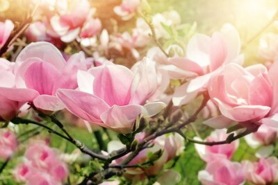 Cuadro Flor del árbol de magnolia