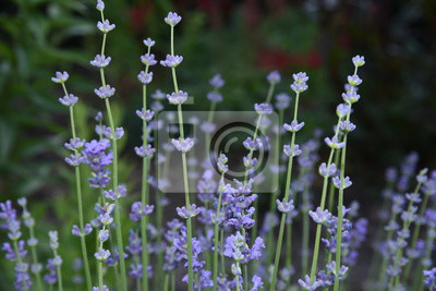 Flor Lavanda Naturaleza Purpura Flores Planta Campo Verde