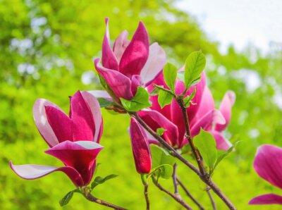 Cuadro Flor púrpura de la magnolia en un fondo de la rama
