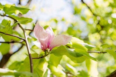 Cuadro Floración de flores de magnolia rosa en el tiempo de primavera